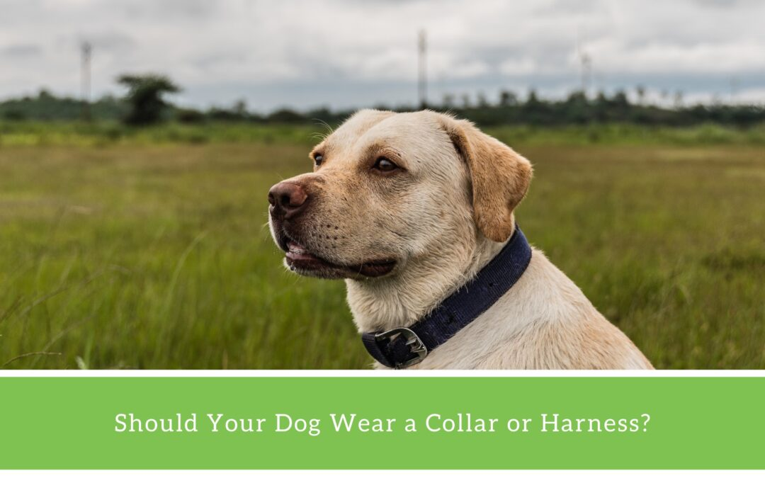 Is a Dog Collar or Harness Better?